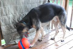 DSC_6433 (aerofan245) Tags: birthday party dog 3 shepherd sage german superhero batman batdog gsd