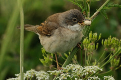 Whitethroat. (stonefaction) Tags: nature birds port scotland allen wildlife perthshire tay errol faved reedbeds