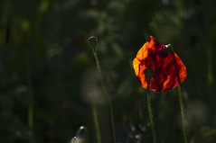 coquelicot (cremona daniel) Tags: mer france nature fleurs flickr photos corse daniel corsica fl paysages coquelicot montagnes cremona scoopt francelandscapes erbajolo