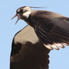 Lapwing Commander in Flight (Ger Bosma) Tags: bird dutch closeup flying inflight wings europe european wildlife flight thenetherlands extremecloseup birdsinflight soaring vanellusvanellus kievit bif vibe birdinflight curator ljip flyingbird invlucht closeupdetail kiebitz vanneauhupp avefraeuropea tofsvipa  extremedetail pavoncella 196a mygearandme mygearandmepremium mygearandmebronze mygearandmesilver commonlapwing ringexcellence czajkapospolita flickrstruereflection1 gettycurator img48647filtered2crop abibecomun