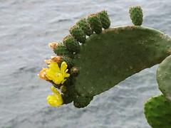 pala ri ficurinnia (costagar51) Tags: italy italia natura sicily fiori palermo piante sicilia capozafferano regionalgeographicsicilia rgsnatura