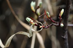 framed (withrow) Tags: spring saskatoon buds oldgrass