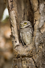 Little Owl (portrait)
