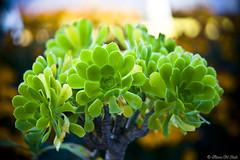 Flowery Green :) (aleemsm) Tags: morning cactus green breakfast lights bhutan east aeoniumarboreum