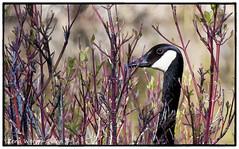 Peek A Boo Goose (ZWQphotos) Tags: calgary goose alberta wetlands canadagoose inglewoodbirdsanctuary