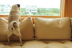 On guard. (WeeLittlePiggy) Tags: dog guard pug