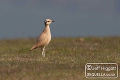 Cream-coloured Courser [IMG_8945] (Jeff Higgott (Sequella.co.uk)) Tags: herefordshire creamcoloured courser creamcolouredcourser img8945 radnorhill