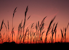 Amber glow through the grass heads. (Rosie Oates) Tags: light sunset sky orange grass lanscape silohuette