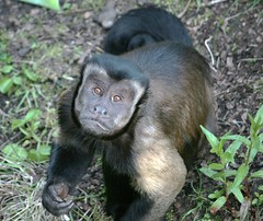 BROWN CAPUCHIN IMG 0090