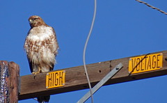 Hawk on a power pole (mariposa lily) Tags: hawk redtailhawk redtailedhawk hawks bird birds sony sonycybershotdschx100 sonycybershotdschx100v cybershotdschx100 cybershotdschx100v dschx100 dschx100v hx100 hx100v avian feathered highvoltage powerpole buttecounty buttecountyca buttecountycalif buttecountycalifornia wildlife feathers feather butte