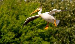 American White Pelican (Shawn McCready) Tags: park white canada bird nature water edmonton pelican american alberta fowl shawnmccready herimiatage