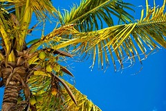 Los Americanos 53 (duldinger) Tags: nikon calendar urlaub kalender edition palme santodomingo bocachica karibik dominikanischerepublik kokusnuss limitiert limeted