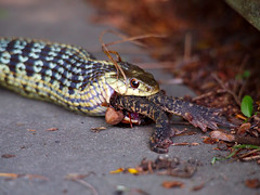 Death in the Afternoon (arnas Burdulis) Tags: usa snake nh toad prey hanover gartersnake thamnophissirtalis raitingyvat