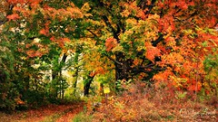 There is Color, Then There is Color! (socalgal_64) Tags: autumn trees fall colors leaves forest northampton woods colorful pennsylvania pa lehighvalley cherryville carolynlandi