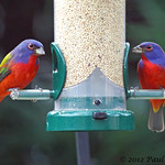 Painted Bunting males (Passerina ciris) - The Easter Eggs Hatched Again