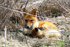 Red Fox (DRGorham) Tags: redfox simcoecounty newtecumseth