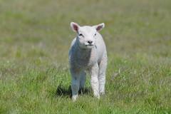 Schaap - Sheep - Explored (ericzijnfotoos) Tags: animal explore dier farmanimals boerderijdieren explored nikond90 sigma150500mmos