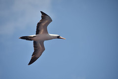 A Booby Brown (Zahid - At sea - Thanks for the views ,Favs and co) Tags: blue sky cloud bird animal wings eyes nikon o details profile beak feather brownbooby boobybrown nikond810 nikon28300mm