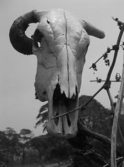 Finales (anthony camargo) Tags: paisajes arte muerte final campo huesos cuernos toro miedo vaca calavera oscuro fotografa bovino crneo moustro blafesmo