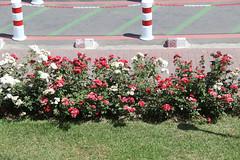 Roses (pslg05896) Tags: roses morocco marrakech rak menara gmmx
