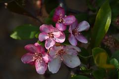 Abundance of pink flowers. (Dain Schlegel) Tags: pink flowers white gardens botanical outdoor greens abundance luscious freckled