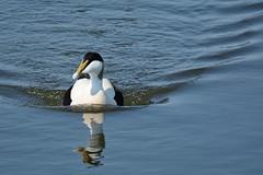 Eider. (stonefaction) Tags: nature birds scotland angus wildlife basin montrose drake eider