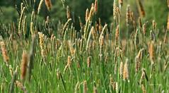 11-IMG_1868 (hemingwayfoto) Tags: blhen gras grasblte heuschnupfen natur norddeutschland ostufer pflanze regionhannover steinhudermeer wiese