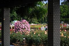 20160522-D7-DS7_2587.jpg (d3_plus) Tags: park street sky plant flower nature japan garden walking drive tokyo nikon scenery bokeh fine daily bloom   nikkor   kanagawa   dailyphoto touring     thesedays  fineday  jindaiji          d700 kanagawapref nikond700