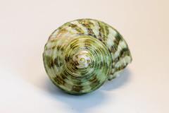 0SeaShells (1 of 1)-9 (HemboCondo) Tags: shells seashells shell snail scallop urchin