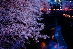 Sakura Blues () Tags: japan dawn tokyo cherryblossom   meguro hanami   nightsakura  sonya7 zeissbatis85mmf18