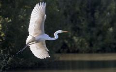 Backlight (Artefax Jericho - Heading North) Tags: white bird backlight alba great flight feathers ardea egret grote zilverreiger