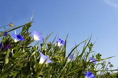 In memory of my dear mother (Rosmarie Wirz) Tags: nature dedication mother morocco memory wildflower paleblue mothersday muttertag festadellamamma blueconvolvulus