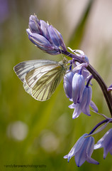 Green-veined White (ABPhotosUK) Tags: flowers macro animals canon garden wildlife butterflies lepidoptera devon dartmoor bluebell backlighting invertebrates greenveinedwhite pieridae pierisnapi plantsandfungi ef25mmextensiontube eos7dmarkii ef100400mmisii