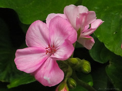 Flower Macro_13125 (smack53) Tags: flowers plants closeup canon spring blossoms powershot pottedplants macros springtime blooming canonpowershotsx150is sx150is smack53