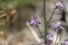 (joedecruyenaere) Tags: delphinium ranunculaceae mojavedesert sangabrielmountains losangelescounty delphiniumparishiisspparishii