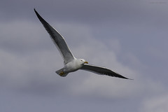 Kleine Mantelmeeuw (judithvanagthoven) Tags: birds terschelling canon nederland vogels natuur meeuwen kleine mantelmeeuw sigma150500mm 7dmarkii