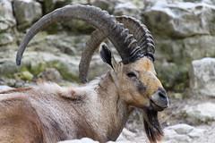 Ibex with Big Horns (Eric Kilby) Tags: animal zoo horns fortworth nubian ibex