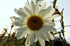 flower (jackiboger) Tags: amateurs flowerflowerflower macrosgroup canoneosrebelt5