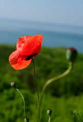Poppy... (Radu Andrei B) Tags: sea black bulgaria poppy balchik