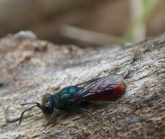 Chrysis gracillima (bego vega) Tags: madrid macro animal insect wasp vega cuckoo vf bv cuco bego insecto avispa hymenoptera chrysis chrysididae gracillima himenoptero crisdido