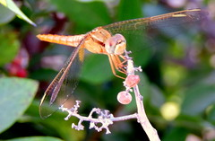 Hang On (Khaled M. K. HEGAZY) Tags: pink orange white macro green nature yellow closeup insect nikon dragonfly outdoor egypt violet coolpix p520 rassedr