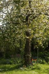 Kirschbaum (ebien) Tags: garden spring allotment garten frhling kleingarten schrebergarten frhblher frhlingsblume gardenplot