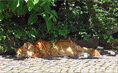 Oscar schwitzt und schwitzt und schwitzt....(1) (Jorbasa) Tags: shadow summer pet sun animal cat germany deutschland oscar hessen oscarwilde sommer heat katze sonne schatten haustier kater tomcat wetterau hitze temperatur schwitzen jorbasa