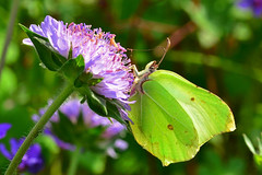 Female Brimstone Butterfly ... Gonepteryx rhamni (AndyorDij) Tags: uk england butterfly insect spring unitedkingdom bokeh insects rutland proboscis scabious scabiosa 2016 empingham brimstonebutterfly femalebrimstonebutterfly