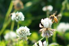Honey hunting () Tags: minolta sony af 100300mm f4556 slta57 57