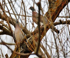Paloma torcaz / Common Wood Pigeon (Columba palumbus) (avgomo) Tags: espaa fauna spain pigeons aves palomas salamanca