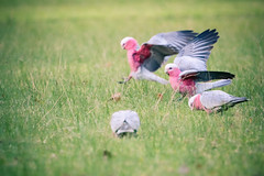 Coming in to land (bektravels) Tags: pink nature grass birds animals grey outdoor wildlife flock birding australian feathers australia galah rosebreastedcockatoo canon70d ef70300mmf456l