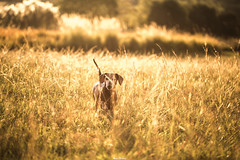 Fields of Gold (DIVIO | photography za) Tags: africa park sunset wallpaper dog pet brown sun dogs smile grass animal angel portraits canon tia photography gold high glow random good spirit south captured creative sausage dry nat stretch dachshund german fields hd vibes geo pure res za hue guardian joburg emmerentia radness walkies 6d doxie daxie sould divyesh loveanimals lovedogs lovephotography worshond thisisafrica highglow loveoverfear divio dajee myjoburg stretchdajee