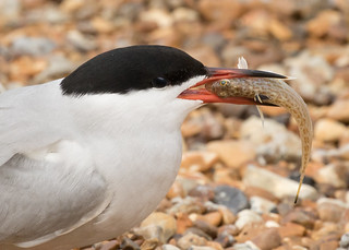 Common Tern - Sterna hirundo - with Weever