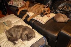 Merlin, Greta & Maggie (cupra1) Tags: dog pets cat feline shepherd maggie merlin germanshepherd burmese pussycat greta gsd germanshepherddog blueburmese